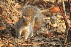 Wiewiórka w parku w zimie obrazy royalty free