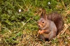 Wiewiórka w polach Obrazy Stock