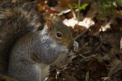 Wiewiórka w poroślu Zdjęcie Royalty Free