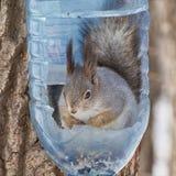 Wiewiórka w ptasim dozowniku Zdjęcia Royalty Free