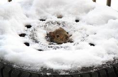 Wiewiórka wśrodku opony Obrazy Stock