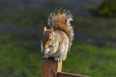 Wiewiórka w St James parku, Londyn -4 Zdjęcie Royalty Free