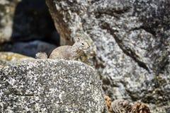 Wiewiórka w swój naturalnym siedlisku Fotografia Stock