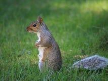 Wiewiórka w trawie Zdjęcia Royalty Free