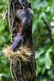 Wiewiórka w Villahermosa Tabasco obraz royalty free