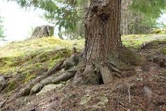 Wiewiórka w Whistler Zdjęcia Royalty Free