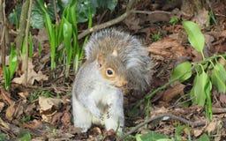 Wiewiórka w wiośnie zdjęcie stock