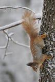 Wiewiórka w z lasem Fotografia Stock