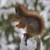 Wiewiórka w z lasem Obrazy Royalty Free