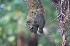 wiewiórka wiesza na drzewie fotografia royalty free