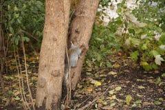 Wiewiórka wspina się drzewnego bagażnika w lesie obrazy royalty free