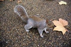Wiewiórka z żółtym liściem Obraz Stock