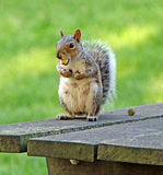 Wiewiórka z Acorn Fotografia Royalty Free