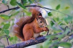 Wiewiórka z dokrętką Fotografia Stock