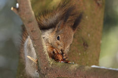 Wiewiórka z jedlinowym rożkiem. Obrazy Stock