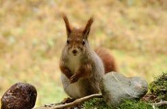 Wiewiórka z sercem kamień Obraz Stock