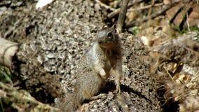 Wiewiórka, Zion park narodowy Obrazy Stock