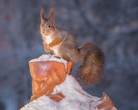 Wiewiórki kują artykuły Zdjęcie Stock