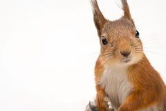 Wiewiórki Zamknięty Up Fotografia Royalty Free