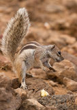 Wiewiórki ziemia Preryjni psy w natura skoku i łasowaniu Zdjęcia Royalty Free