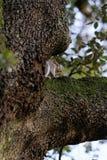 Wiewi?rka na drzewie w jesieni fotografia stock