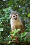 Wiewiórcza małpa Obraz Stock