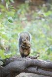 Wiewiórka na beli Zdjęcia Stock