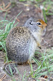 Wiewiórka w Kanada Fotografia Stock