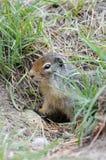 Wiewiórka w Kanada Obrazy Royalty Free