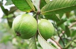 świeży guava Obrazy Stock