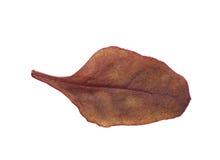Świeży sałatkowy liść odizolowywający Fotografia Royalty Free