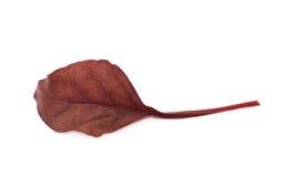 Świeży sałatkowy liść odizolowywający Zdjęcie Stock