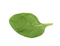 Świeży sałatkowy liść odizolowywający Obrazy Royalty Free