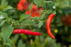 Świezi czerwoni chillies Obrazy Royalty Free