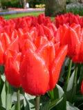Świezi czerwoni tulipany Fotografia Royalty Free