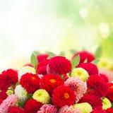 Świezi dalia kwiaty Zdjęcie Stock