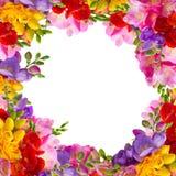 Świezi frezja kwiaty Zdjęcia Stock