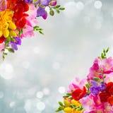 Świezi frezja kwiaty Zdjęcie Royalty Free