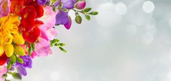 Świezi frezja kwiaty Obrazy Royalty Free