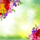 Świezi frezja kwiaty Zdjęcie Stock
