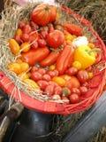 świezi organicznie pomidorowi warzywa Fotografia Royalty Free