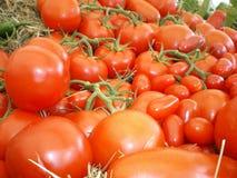 świezi organicznie pomidory Fotografia Royalty Free