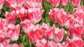 ?wiezi pi?kni wy?mienicie r??owi biali tulipan?w kwiaty kwitn? w wiosna ogr?dzie Dekoracyjny tulipanowy kwiatu okwitni?cie w wio? zbiory