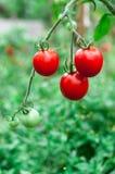 Świezi pomidory r w ogródzie Obrazy Royalty Free