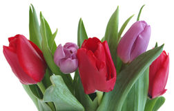 świezi tulipany Zdjęcie Royalty Free