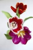 świezi tulipany Fotografia Royalty Free