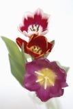 świezi tulipany Fotografia Stock