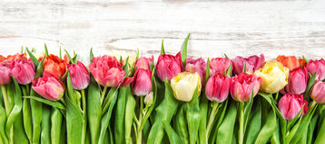 Świezi tulipany wiosna kwiat rabatowy kwiecisty Obrazy Stock