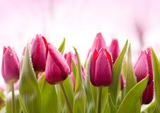 Świezi tulipany z rosa kroplami Zdjęcia Royalty Free