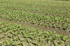 Świezi warzywa w ziemi uprawnej Fotografia Stock